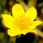 Sólja (калужница болотная, лат. Cáltha palústris) распространена практически по всему миру,но лишь фарерцы в 2005 годуназвали её национальным цветком